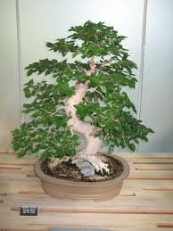 Oldest Bonsai Tree Information Vietnam Agriculture