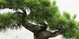 Bonsai trees are quite delicate and really very pretty. The Japanese