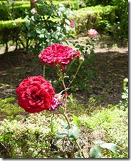 Plant_roses_890