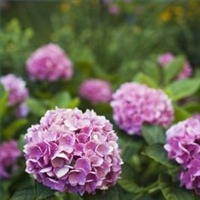 canmakehydrangeastrongbranches200X200.jpg