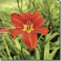 care-blooming-daylilies-200X200