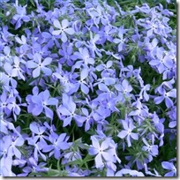 care-creeping-phlox-over-winter-200X200