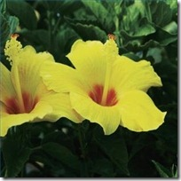 care-hawaiian-yellow-hibiscus-200X200