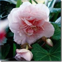 care-hybrid-begonias-winter-200X200