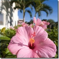 care-southern-belle-hibiscus-200X200