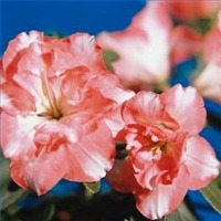 fertilizeazaleasrhodies200X200.jpg