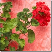 fertilize-geraniums-bloom-200X200