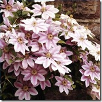 grow-clematis-cuttings-200X200