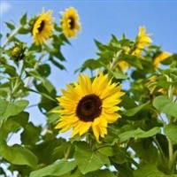 plantrussiansunflowers200X200.jpg