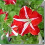 sunlight-guidelines-petunias-200X200