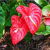 How to Grow Anthuriums Using Seeds