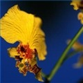 wildchineseorchidflowers1.1120X120.jpg