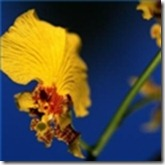 wild-chinese-orchid-flowers-1.1-120X120