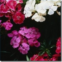 care-dianthus-plants-200X200