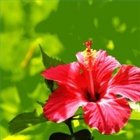 How to Care for the Tropical Hibiscus