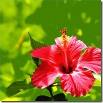 care-tropical-hibiscus-200X200