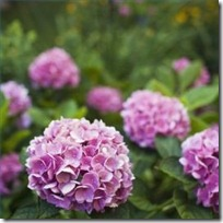 causes-brown-spots-hydrangea-leaves-200X200