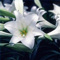 How to Force an Easter Lily