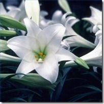 force-easter-lily-200X200