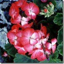 geraniums-not-bloom-flowers-200X200
