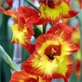 gladiolusflowers1.1120X120.jpg