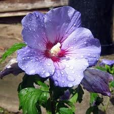 How to Care for Hibiscus Plants