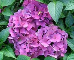 How to Care for Hydrangeas That Froze