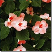 impatiens-cuttings-200X200