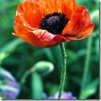 plant-care-oriental-poppy-flower-200X200