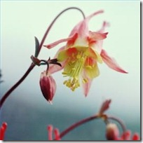 plant-columbine-mckana-flowers-200X200