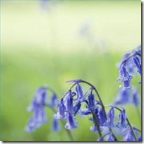 plant-english-bluebells-200X200