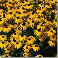 planting-conditions-blackeyed-susans-200X200