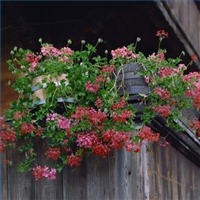 How to Plant Perennial Geraniums