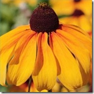 plant-seeds-large-yellow-daisies-200X200