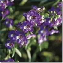 plant-sow-angelonia-seed-200X200