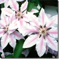 propagate-clematis-200X200