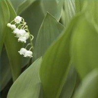 Propagation of Lily of the Valley Flowers