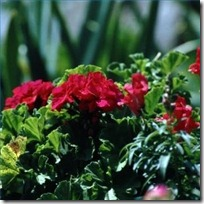temperature-need-geraniums-outside-200X200