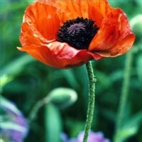 trimpoppies200X200.jpg