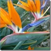 bird-paradise-plant-requirements-1.1-120X120