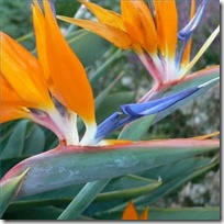 care-large-bird-paradise-plants-200X200