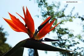 How to Divide a Bird of Paradise Plant