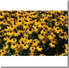 causes-spots-leaves-blackeyed-susans-800X800