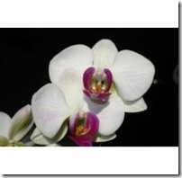 do-care-white-orchid-plant_-800X800