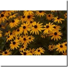 grow-blackeyed-susan-container-800X800