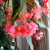 How to Raise Angel Wing Begonias