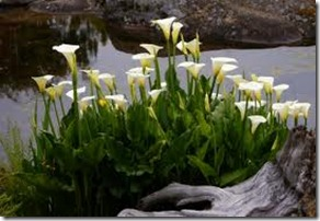 how to care for lilies in the fall