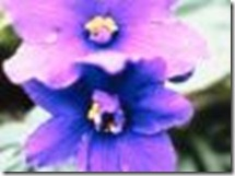 african-violet-types-1.1-800x800