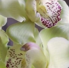 How to Buy & Grow Green Cymbidium Orchids