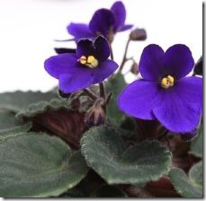 care-feed-african-violets-800x800